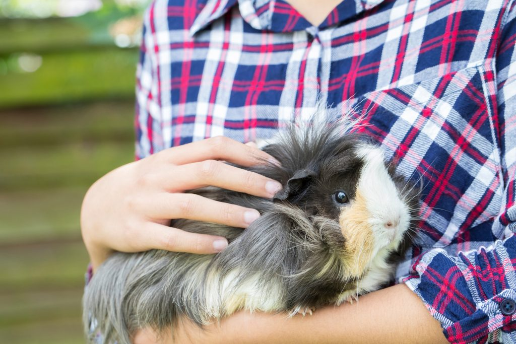 Professional Pet Sitters of Minnesota - We take care of Guinea Pigs